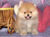 Teddy Face Boo Pomeranian Yavrular