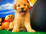 @yavrupatiler'den karamel renk Maltese terrier toy podle