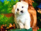 @yavrupatiler'den  bembeyaz Maltese terrier yavru oğlumuz