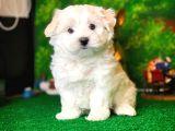 @yavrupatiler'den karbeyaz Maltese terrier