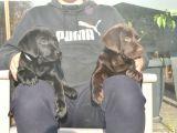 Şecereli Labrador Yavrularımız