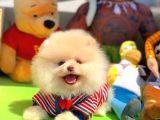 Sağlık ve Irk Onaylı SCR Sertifikalı Muhteşem Pomeranian Boo Yavruları