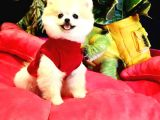 Güler yüzlü ve secereli Pomeranian Boo yavrularımız