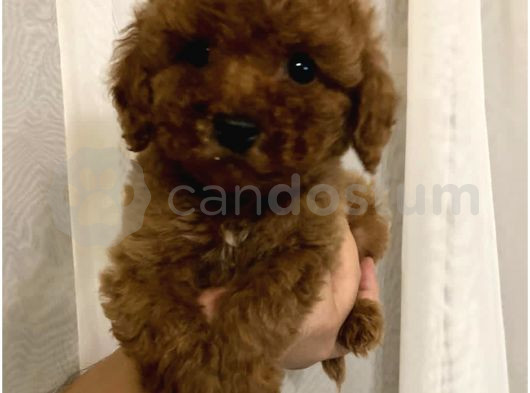 RED BROWN TOY POODLE YAVRUMUZ