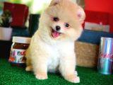 Irk ve Sağlık Garantili Teddy Bear Pomeranian Boo