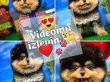 Pomeranian boo Ayı surat TEDBEAR Yavru Kızımız Tutsy @yavrupatiler den SAFKAN