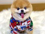 Pomeranian Boo Dişi Yavru