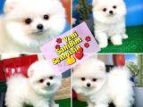 Pomeranian boo  Yavrumuz  POCO @yavrupatiler den SAFKAN