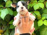 Siyah beyaz korsan dişi french bulldog yavrumuz