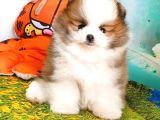 Satılık Pomeranian Boo Teddy Bear Yavrular