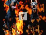 Öz Dobermann Kennel -  Kaliteli Dobermann Yavruları