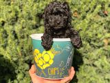 Siyah black erkek toy poodle bebeğimiz
