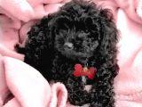 Siyah poodle yavrularımız orjinal safkan
