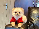 7 aylık Mikroçipli Orjinal Pomeranian Boo Mini Oğlumuz