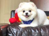 15 aylık Scr Belgeli Orjinal Pomeranian Boo