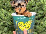 Mini yorkshire terrier erkek yavrumuz