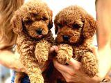 Red Toy Poodle Yavrumuz