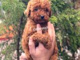 Irk ve sağlık garantili red brown toy poodle yavrularımız