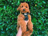 Muhteşem Güzellikte Oyuncu Safkan Red Brown Toy Poodle Yavrular