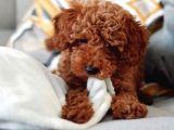 Muhteşem Güzellikte Safkan Red Brown Toy Poodle