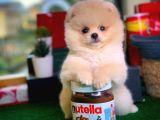 Ayıcık Surat Oyuncu Pomeranian Boo yavrumuz