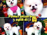 @yavrupatiler den beyaz Pomeranian Boo Yavruları