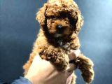 Red Brown Dişi toy poodle
