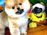 @yavrupatiler'den ALTIN RENKLİ Pomeranian Boo oğlumuz GOLDY / YARIŞMA DÜZEYİ
