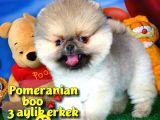 Pomeranian boo TEACUP oyuncu yavrumuz TOBY / Yavrupatiler den
