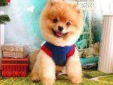 Lion~Belgeli Eğitimli Aşıları Tam Pomeranian Boo Yetişkin