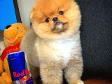 Teddybear Gülen surat Pomeranian