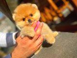 Gülen surat Pomeranian kızımız Linda
