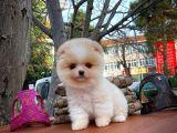 Secere belgeli Pomeranian boo yavrularımız