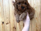 Red brown toy poodle erkek yavrularımız @catboyssss da