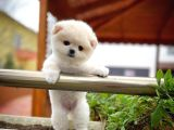 Gülen surat Pomeranian boo oğlumuz bulut