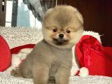 Orjinal Pomeranian Mini Yavrumuz