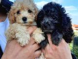 evde doğan sağlıklı bakımlı karneli toy poodle yavrular