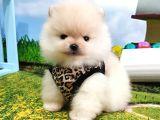 Safkan Teddy bear Pomeranian Boo Yavrularımız