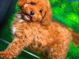 Pofuduk Oyuncu Red Toy Poodle yavrumuz