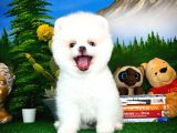 Kar Modu Pomeranian Boo Yavrumuz