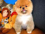 Çok güzel  ayıcık Pomeranian Boo yavrumuz