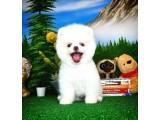 Teddy bear surat yapısına sahip mini boy Pomeranian yavrularımız