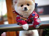 Irk ve saglık garantılı Pomeranian Boo yavrumuz