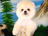 Pomeranian Boo yavrumuz en tatlısından