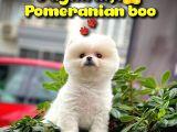 Safkan Pomeranian Boo Kızımız DOROTY / Yavrupatiler