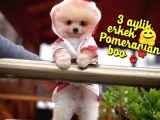 Yavrupatiler den Safkan Pomeranian Boo Oğlumuz Jimmy