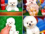 Orjinal safkan teddy bear pomeranian boo yavrularımız