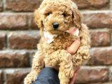 Kızıl renk red brown toy poodle yavrumuz @catboyssss da