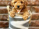@catboyssss güvencesiyle red brown toy poodle yavrumuz