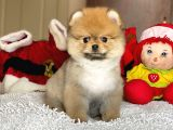 Dişi Orjinal Pomeranian Boo Yavrumuz
